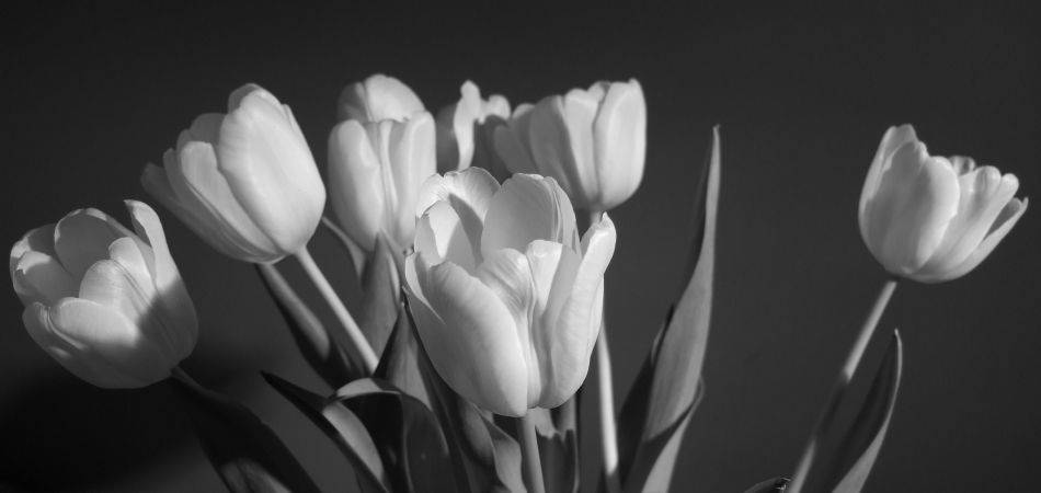 Black And White Tulip Photography Black And White Tulip